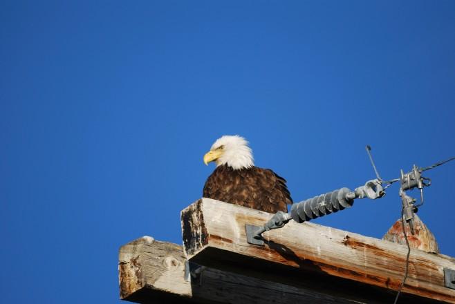 Erstes Foto - Weißkopfseadler (engl. Bald Eagle)